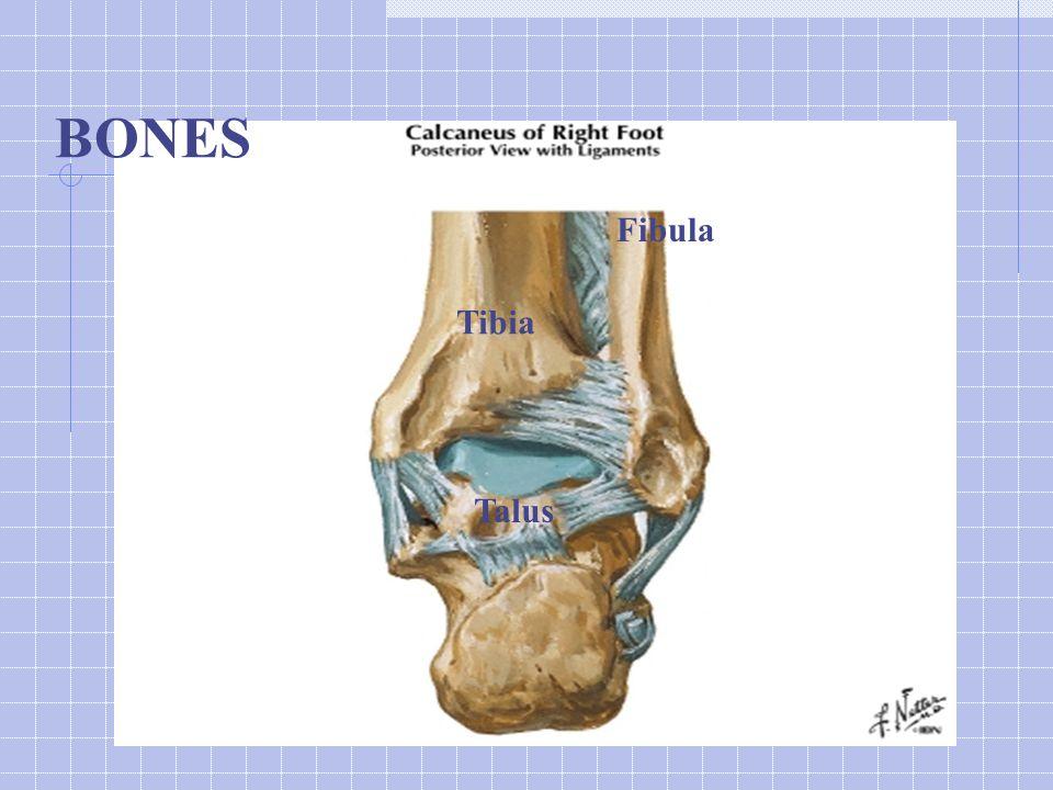 Tibia Fibula Talus BONES