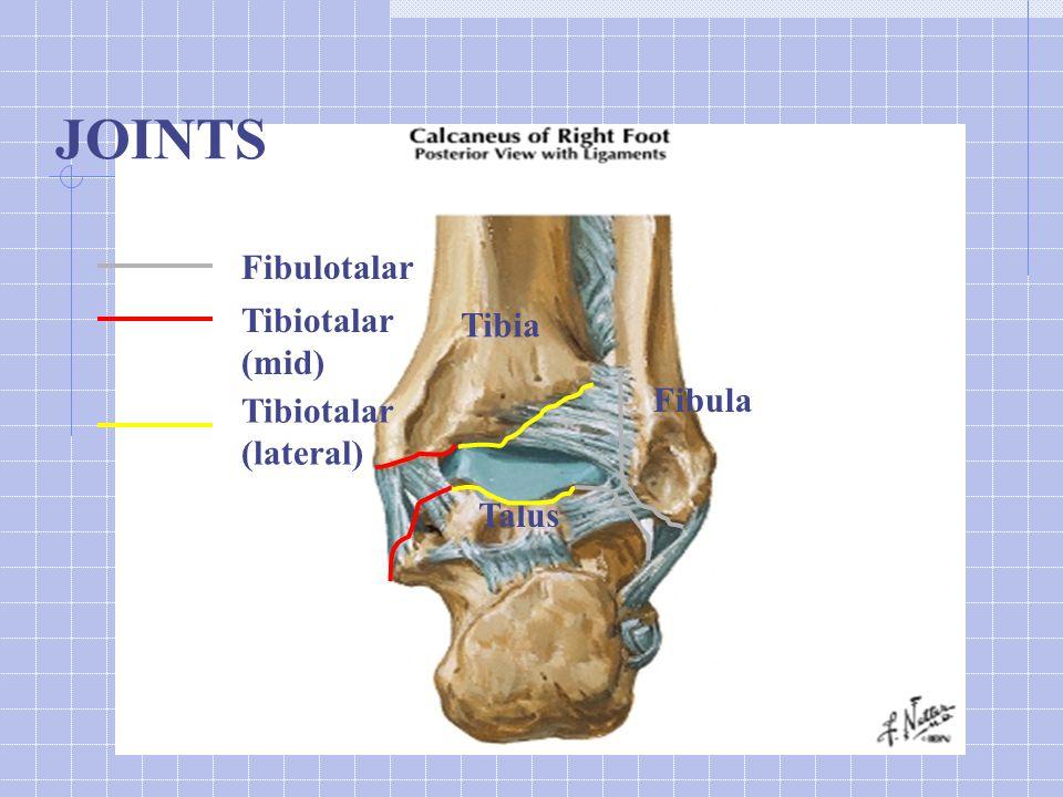 Tibia Fibula Talus JOINTS Fibulotalar Tibiotalar (mid) Tibiotalar (lateral)