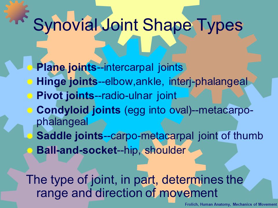 Synovial Joint Shape Types  Plane joints--intercarpal joints  Hinge joints--elbow,ankle, interj-phalangeal  Pivot joints--radio-ulnar joint  Condyloid joints (egg into oval)--metacarpo- phalangeal  Saddle joints--carpo-metacarpal joint of thumb  Ball-and-socket--hip, shoulder The type of joint, in part, determines the range and direction of movement