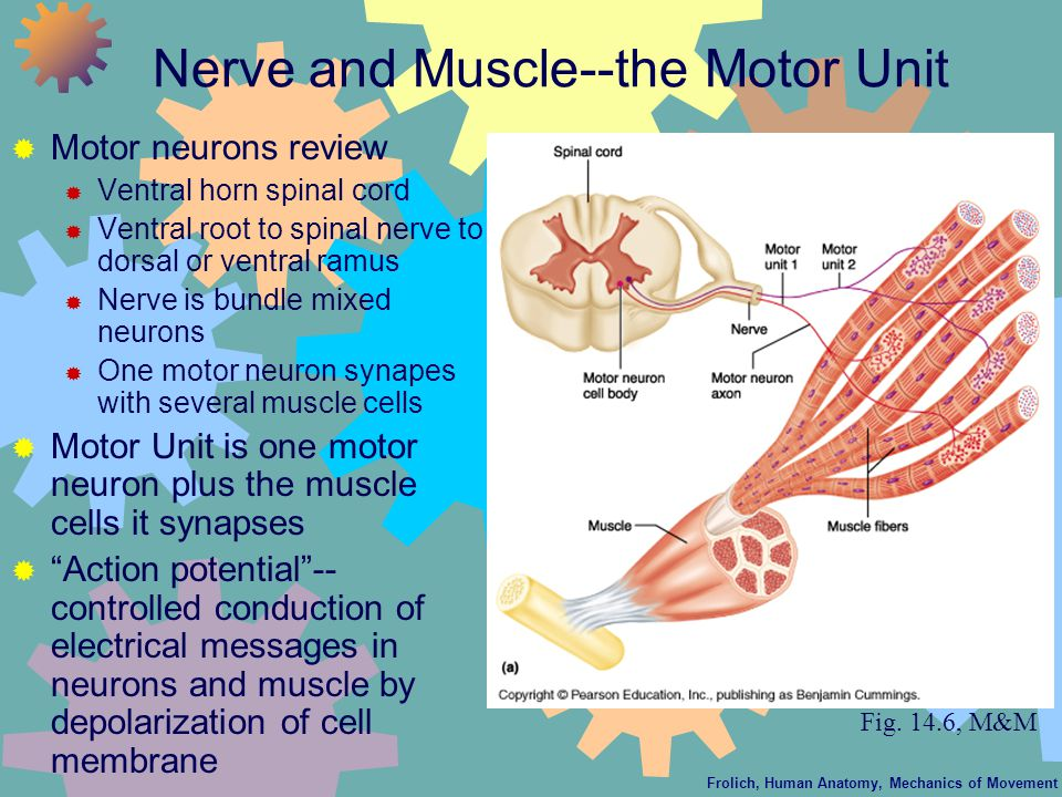 Frolich, Human Anatomy, Mechanics of Movement Nerve and Muscle--the Motor Unit  Motor neurons review  Ventral horn spinal cord  Ventral root to spinal nerve to dorsal or ventral ramus  Nerve is bundle mixed neurons  One motor neuron synapes with several muscle cells  Motor Unit is one motor neuron plus the muscle cells it synapses  Action potential -- controlled conduction of electrical messages in neurons and muscle by depolarization of cell membrane Fig.