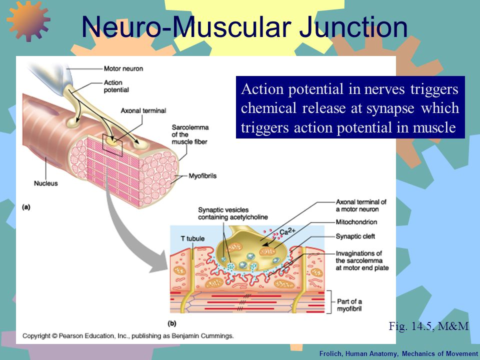 Frolich, Human Anatomy, Mechanics of Movement Neuro-Muscular Junction Action potential in nerves triggers chemical release at synapse which triggers action potential in muscle Fig.