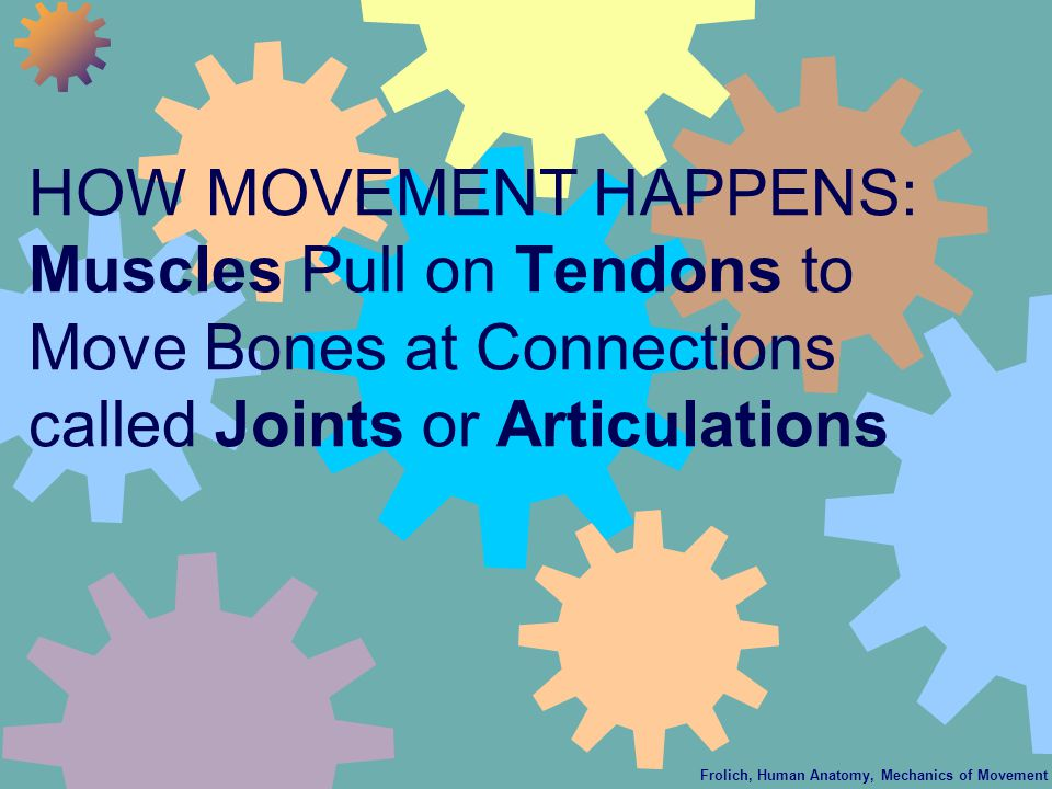 Frolich, Human Anatomy, Mechanics of Movement HOW MOVEMENT HAPPENS: Muscles Pull on Tendons to Move Bones at Connections called Joints or Articulations