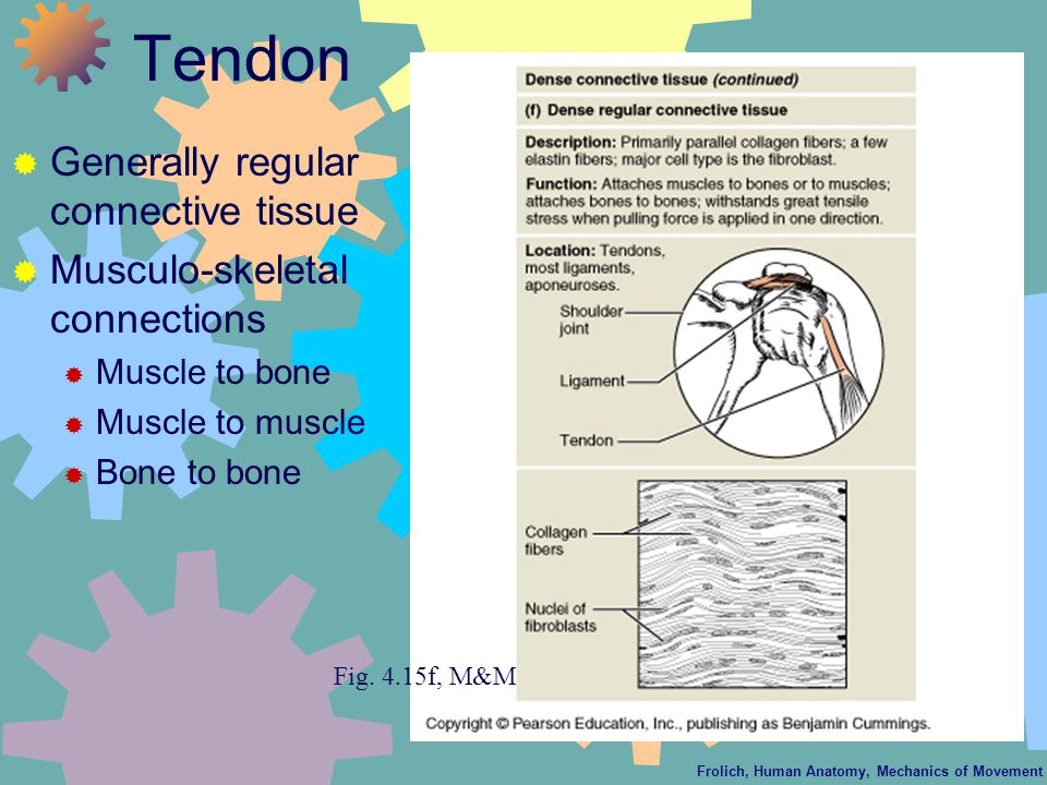 Frolich, Human Anatomy, Mechanics of Movement Tendon  Generally regular connective tissue  Musculo-skeletal connections  Muscle to bone  Muscle to muscle  Bone to bone Fig.