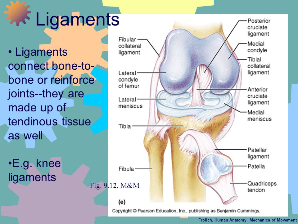 Frolich, Human Anatomy, Mechanics of Movement Ligaments connect bone-to- bone or reinforce joints--they are made up of tendinous tissue as well E.g. k