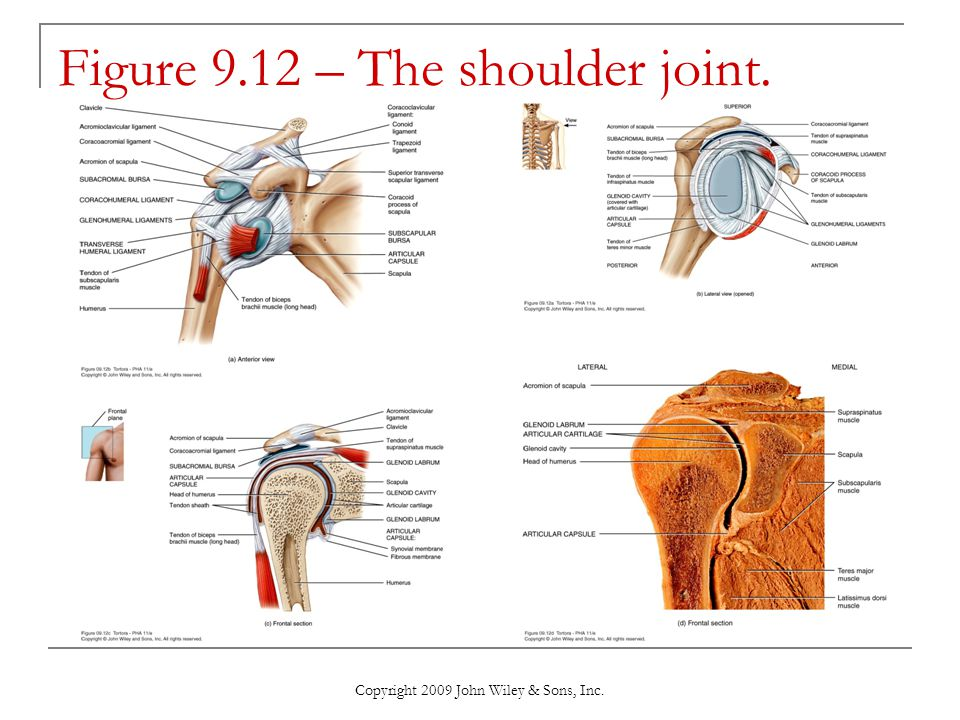 Copyright 2009 John Wiley & Sons, Inc. Figure 9.12 – The shoulder joint.