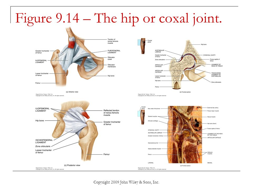 Copyright 2009 John Wiley & Sons, Inc. Figure 9.14 – The hip or coxal joint.