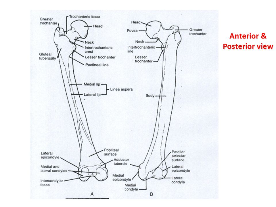 Angle of torsion Excessive Anteversion: - Femoral head twisted anteriorly increasing the amount of anterior articular surface exposure predisposing to anterior dislocation.