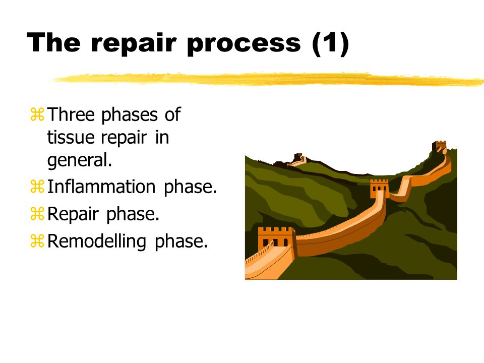 The repair process (1) zThree phases of tissue repair in general.