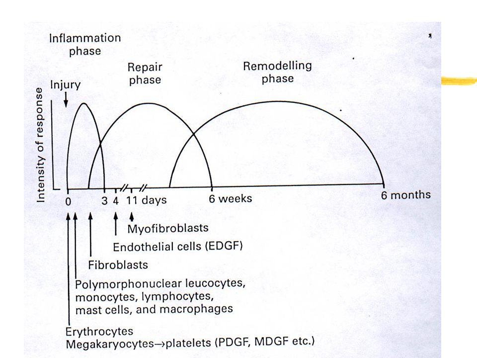 The repair process (2) zAcute inflammation at initial 72 hours.