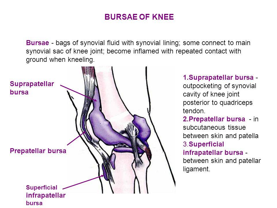 Prepatellar bursa Superficial infrapatellar bursa Suprapatellar bursa 1.Suprapatellar bursa - outpocketing of synovial cavity of knee joint posterior to quadriceps tendon.