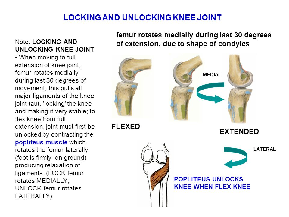 Note: LOCKING AND UNLOCKING KNEE JOINT - When moving to full extension of knee joint, femur rotates medially during last 30 degrees of movement; this pulls all major ligaments of the knee joint taut, locking the knee and making it very stable; to flex knee from full extension, joint must first be unlocked by contracting the popliteus muscle which rotates the femur laterally (foot is firmly on ground) producing relaxation of ligaments.