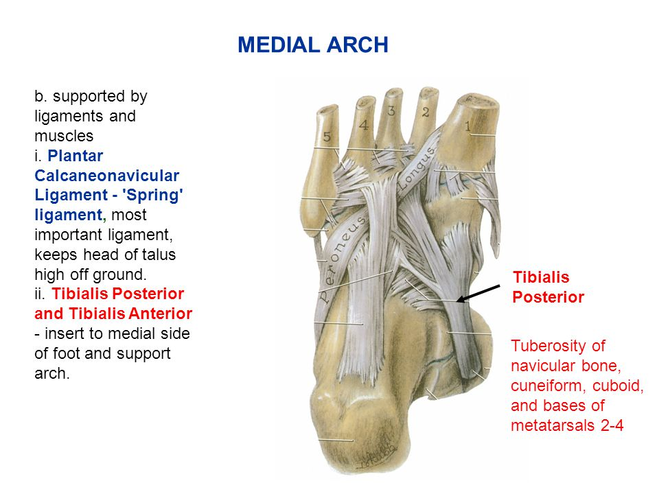 b.supported by ligaments and muscles i.