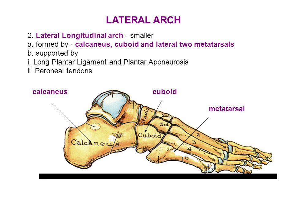 2.Lateral Longitudinal arch - smaller a.