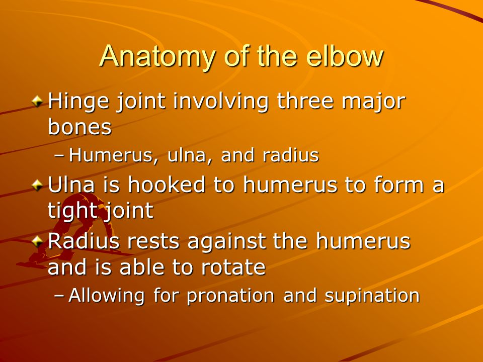 Anatomy of the elbow Hinge joint involving three major bones –Humerus, ulna, and radius Ulna is hooked to humerus to form a tight joint Radius rests against the humerus and is able to rotate –Allowing for pronation and supination