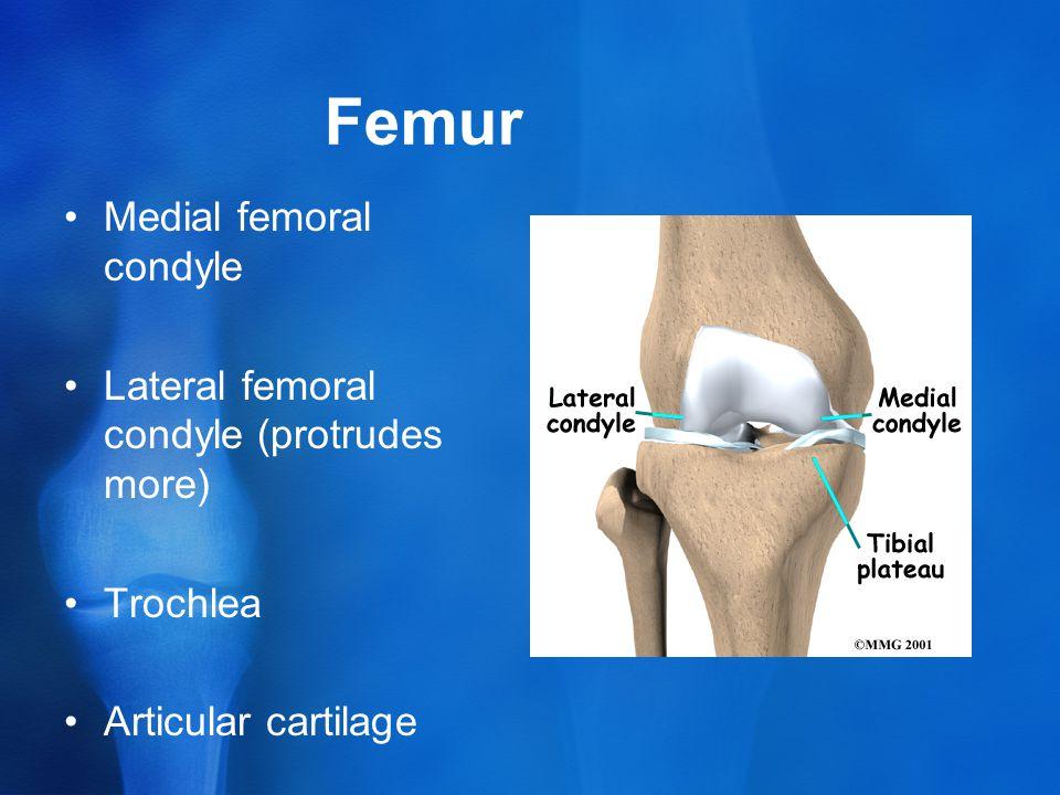 Femur Medial femoral condyle Lateral femoral condyle (protrudes more) Trochlea Articular cartilage