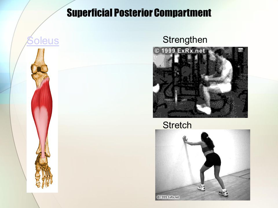 Superficial Posterior Compartment Soleus Strengthen Stretch