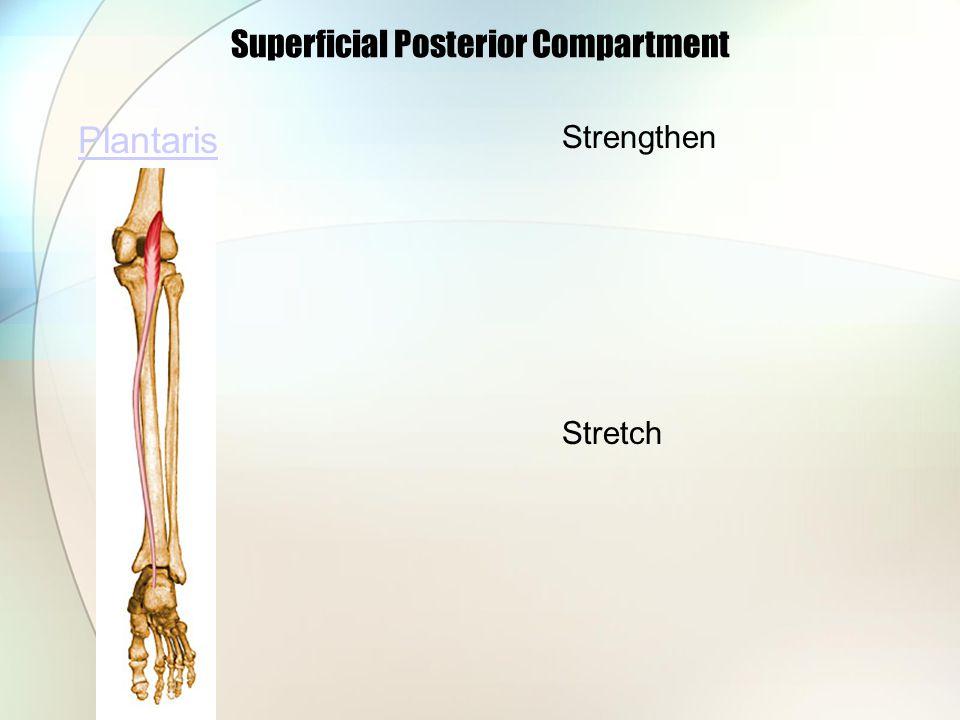 Superficial Posterior Compartment Plantaris Strengthen Stretch