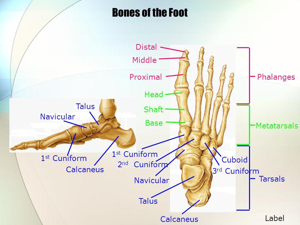 Bones of the Foot Tarsals Head Shaft Base Metatarsals Distal Middle ProximalPhalanges Calcaneus Talus Navicular Cuboid 3 rd Cuniform 2 nd Cuniform 1 s