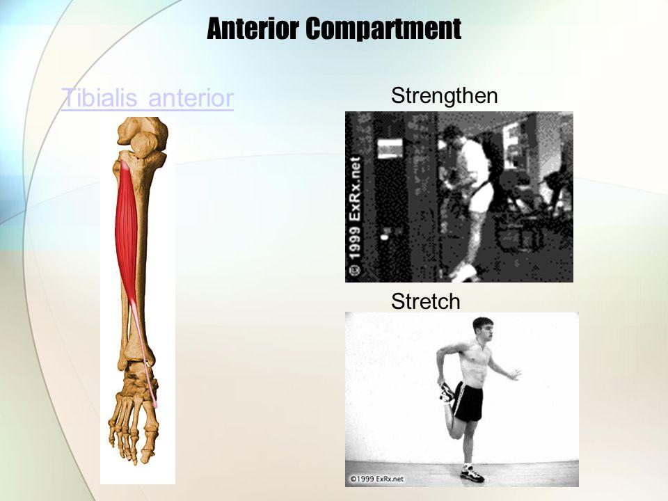 Tibialis anterior Anterior Compartment Strengthen Stretch