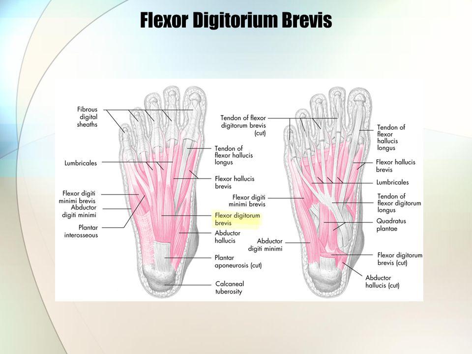 Flexor Digitorium Brevis