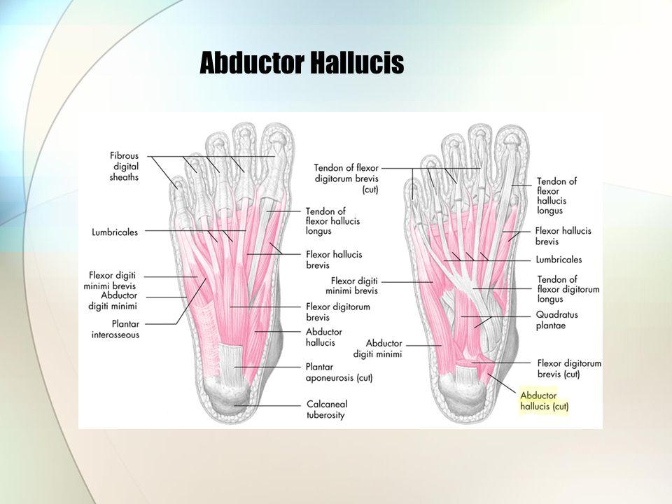 Abductor Hallucis