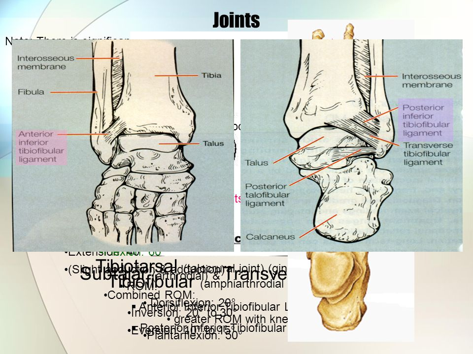 Joints Note: There is significant variation from joint to joint and from person to person Tibiofibular (amphiarthrodial – syndesmotic)  Anterior Infe