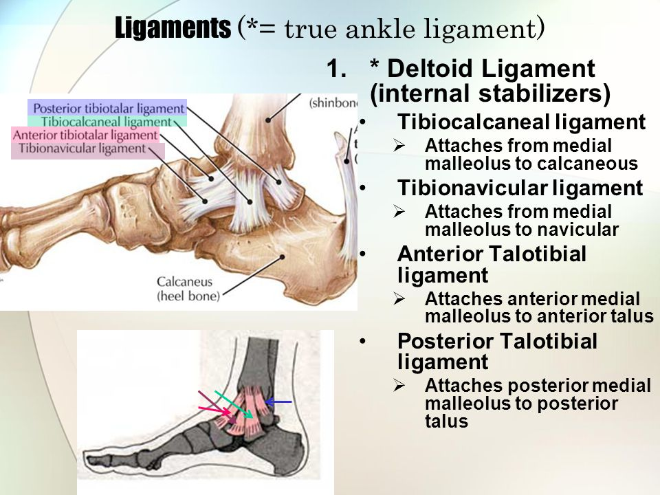 Ligaments (*= true ankle ligament) 2.* Anterior Talofibular ligament Horizontal attachment from lateral malleolus to anterior talus 3.* Calcaneofibular ligament Vertical attachment from lateral malleolus calcaneous 4.* Posterior Talofibular ligament Horizontal attachment from lateral malleolus to posterior talus 5.Lateral Talocalcaneal ligament Attaches lateral talus to calcaneous 6.Posterior Talocalcaneal ligament Attaches posterior talus to posterior calcaneous 7.Dorsal Talonavicular ligament Attaches dorsal anterior talus to navicular