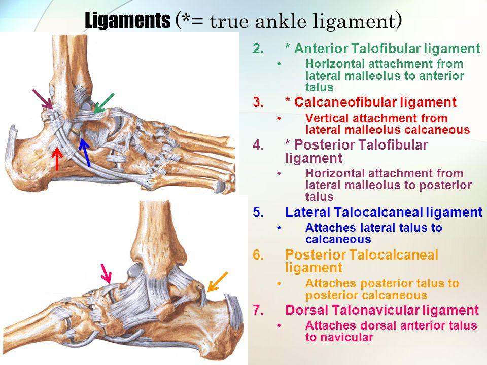 Ligaments (*= true ankle ligament) 2.* Anterior Talofibular ligament Horizontal attachment from lateral malleolus to anterior talus 3.* Calcaneofibula