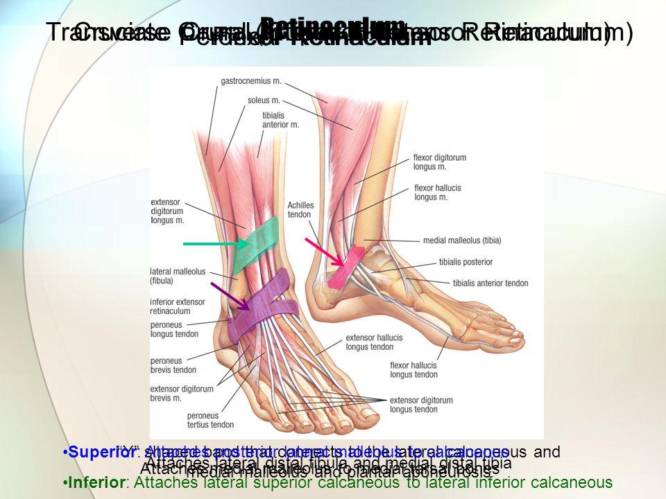 Retinaculum Transverse Crural (Superior Extensor Retinaculum) Attaches lateral distal fibula and medial distal tibia Cruciate Crural (Inferior Extenso