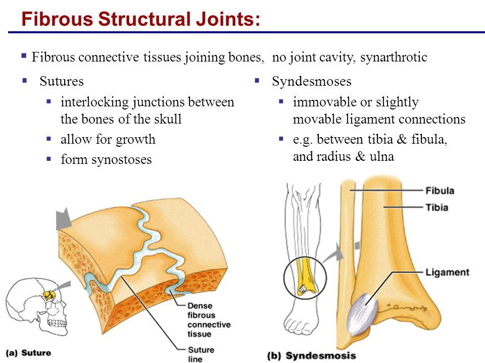 Cartilaginous Joints:  Synchondroses  hyaline cartilage between bones  synarthrotic, but cartilage itself can flex  e.g.