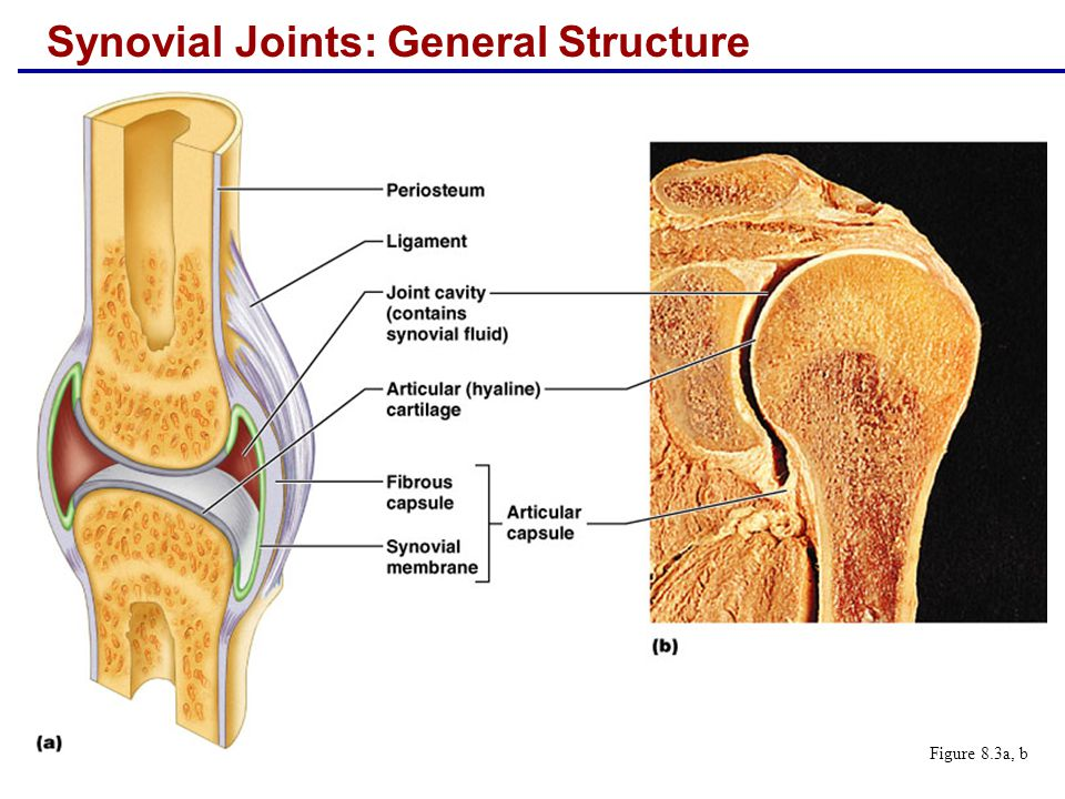 Rotation  The turning of a bone around its own long axis  Examples  Between first two vertebrae  Hip and shoulder joints Figure 8.5g