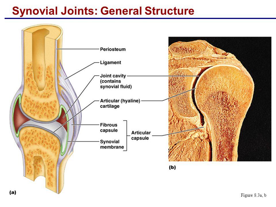  Adductor magnus tendon  Articular capsule  Oblique popliteal ligament  Arcuate popliteal ligament  Semimembranosus tendon Figure 8.8e Synovial Joints: Knee – Posterior View