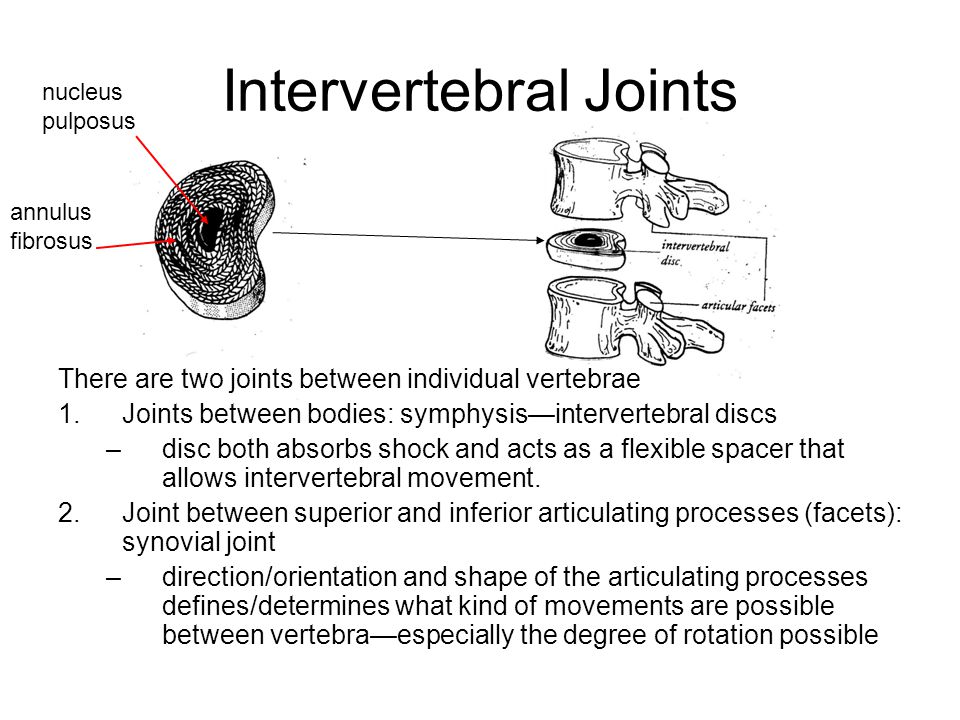 Intervertebral Joints There are two joints between individual vertebrae 1.Joints between bodies: symphysis—intervertebral discs –disc both absorbs shock and acts as a flexible spacer that allows intervertebral movement.