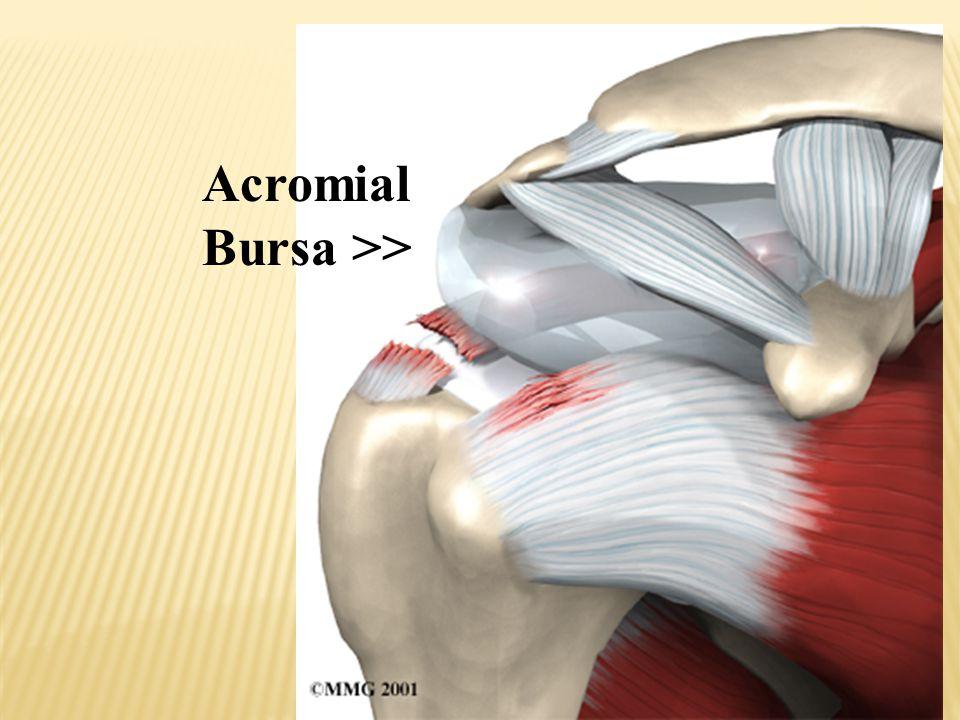 Acromial Bursa >>