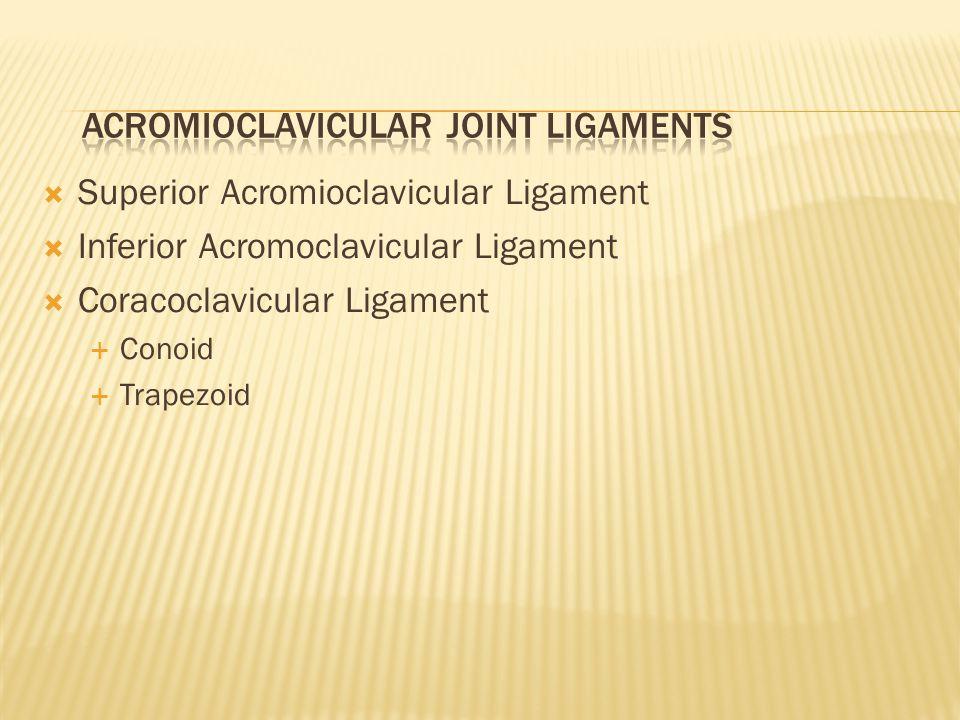 Superior Acromioclavicular Ligament  Inferior Acromoclavicular Ligament  Coracoclavicular Ligament  Conoid  Trapezoid