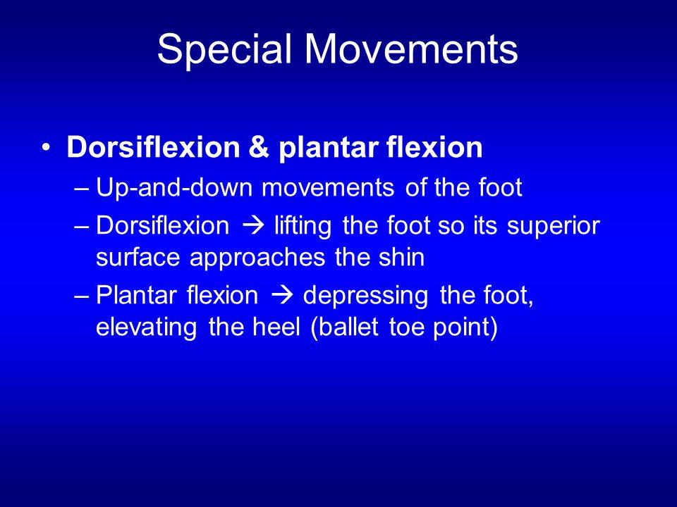 Dorsiflexion & plantar flexion –Up-and-down movements of the foot –Dorsiflexion  lifting the foot so its superior surface approaches the shin –Planta