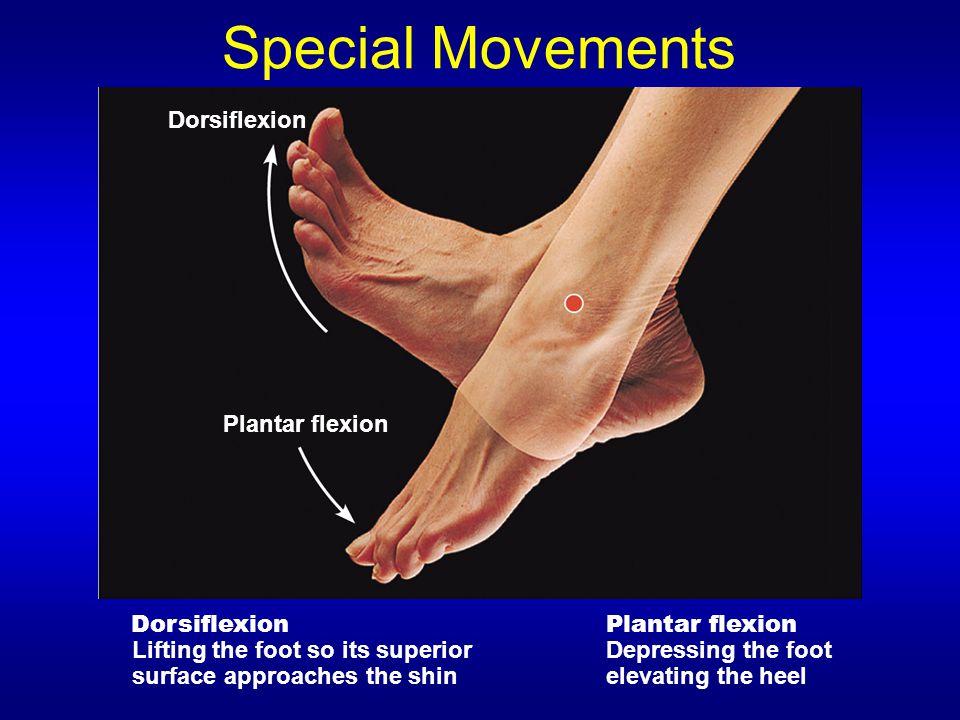 Special Movements Dorsiflexion Plantar flexion Dorsiflexion Lifting the foot so its superior surface approaches the shin Plantar flexion Depressing the foot elevating the heel