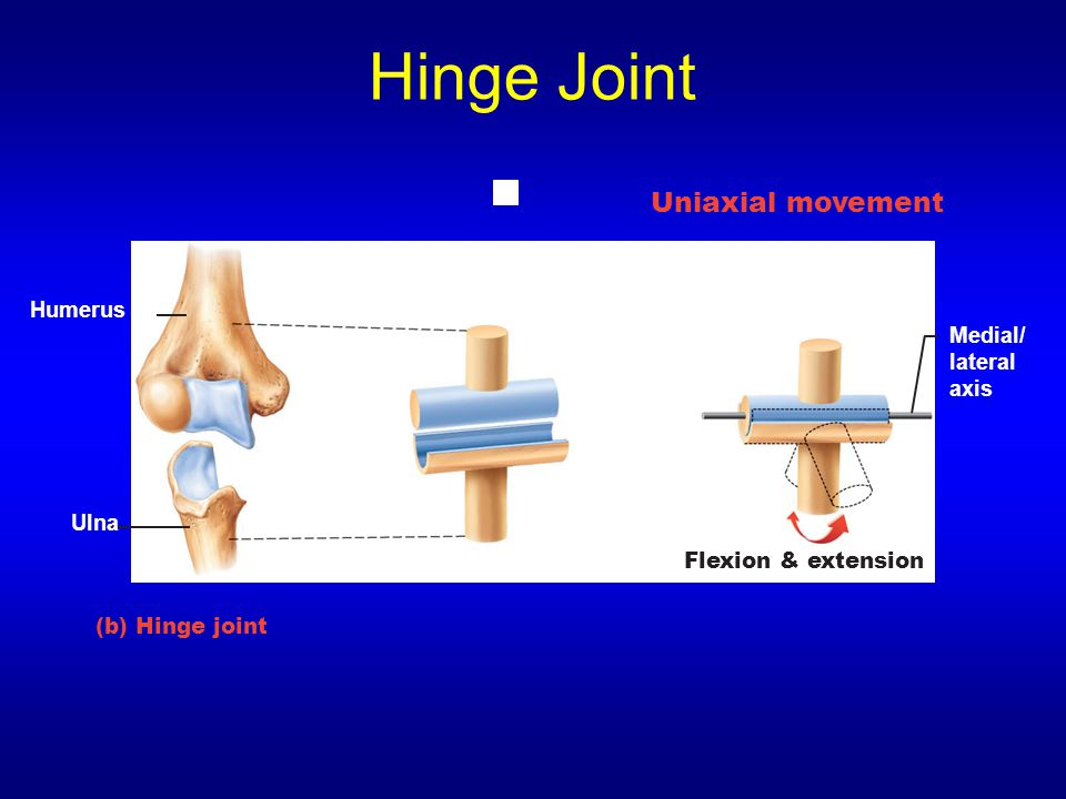Hinge Joint (b) Hinge joint Medial/ lateral axis Flexion & extension Humerus Ulna Uniaxial movement