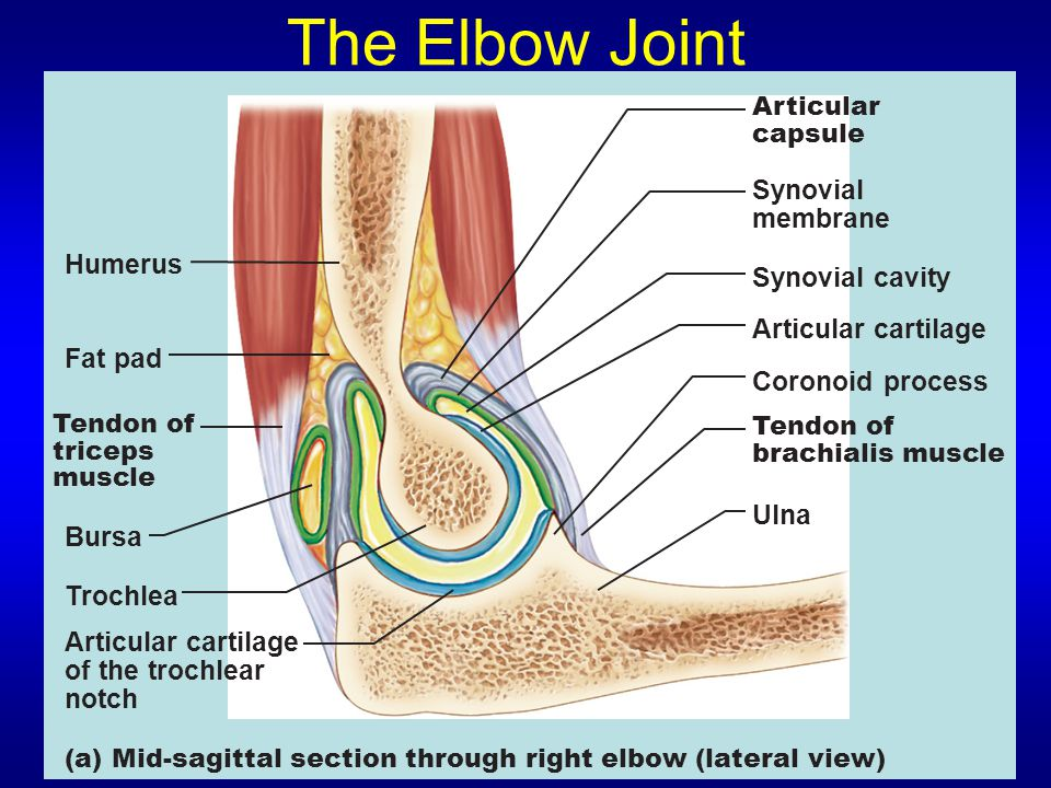 The Elbow Joint Articular capsule Synovial membrane Synovial cavity Articular cartilage Coronoid process Tendon of brachialis muscle Ulna Humerus Fat pad Tendon of triceps muscle Bursa Trochlea Articular cartilage of the trochlear notch (a) Mid-sagittal section through right elbow (lateral view)