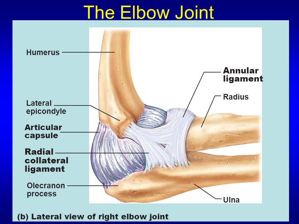 The Elbow Joint Humerus Lateral epicondyle Articular capsule Radial collateral ligament Olecranon process (b) Lateral view of right elbow joint Annular ligament Radius Ulna