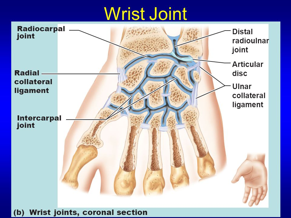 Wrist Joint Distal radioulnar joint Ulnar collateral ligament Articular disc Radial collateral ligament Radiocarpal joint Intercarpal joint (b) Wrist joints, coronal section
