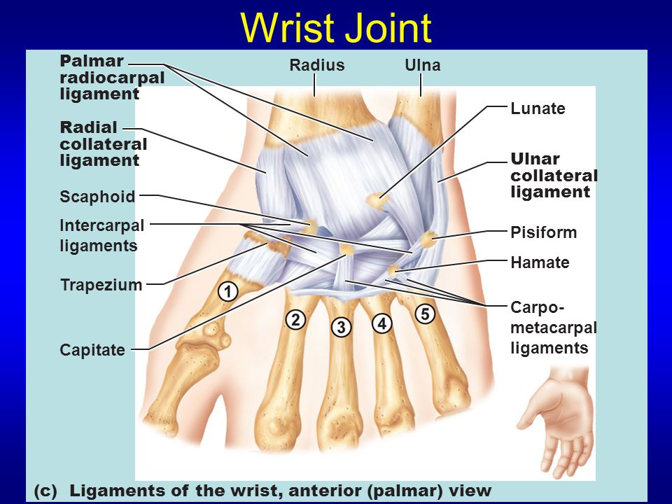 Wrist Joint Hamate Carpo- metacarpal ligaments Pisiform Lunate RadiusUlna Ulnar collateral ligament Radial collateral ligament Palmar radiocarpal ligament Intercarpal ligaments Trapezium Capitate Scaphoid (c) Ligaments of the wrist, anterior (palmar) view