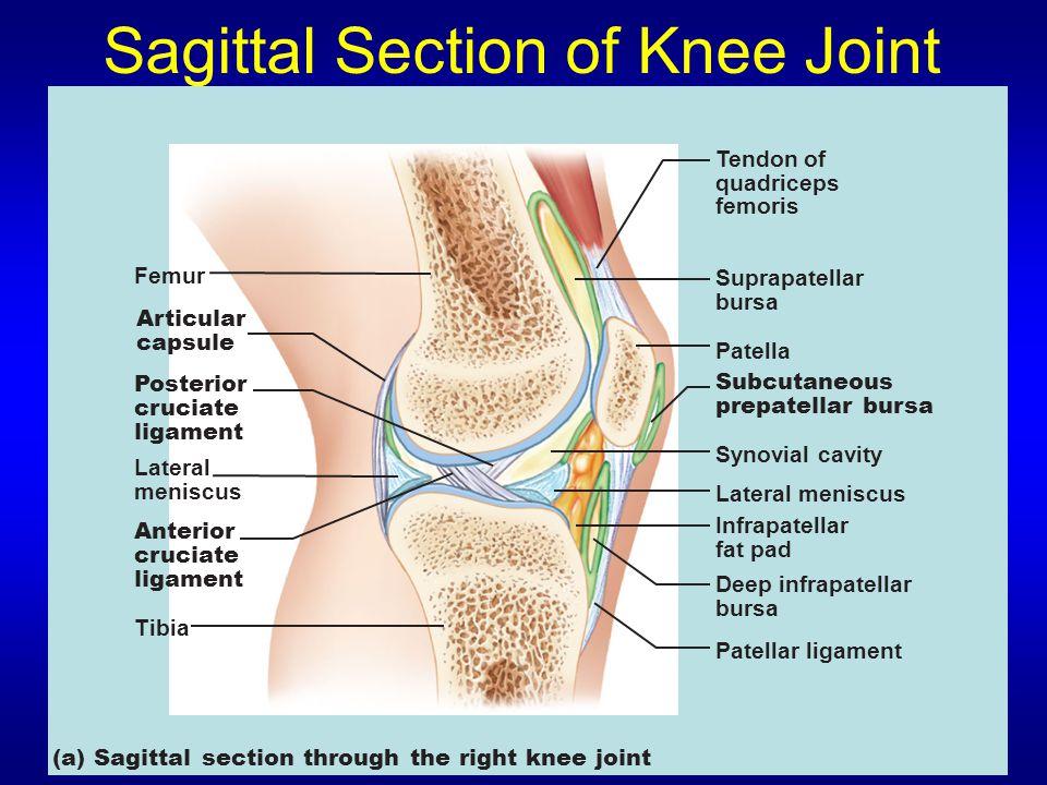 Sagittal Section of Knee Joint (a) Sagittal section through the right knee joint Femur Tendon of quadriceps femoris Suprapatellar bursa Patella Subcut