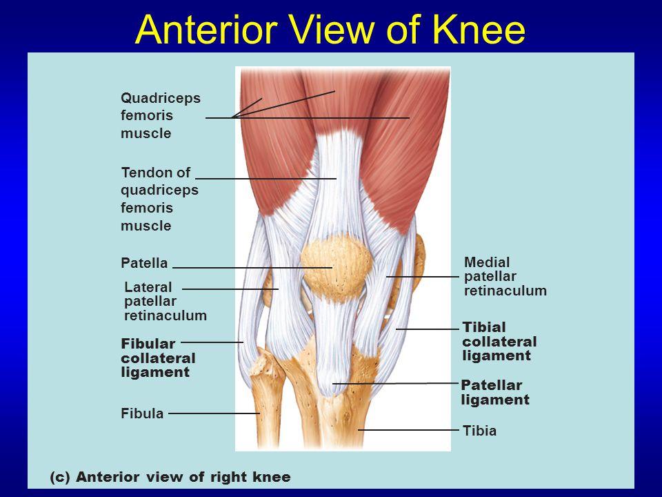 Anterior View of Knee Quadriceps femoris muscle Tendon of quadriceps femoris muscle Patella Lateral patellar retinaculum Medial patellar retinaculum Tibial collateral ligament Tibia Fibular collateral ligament Fibula (c) Anterior view of right knee Patellar ligament