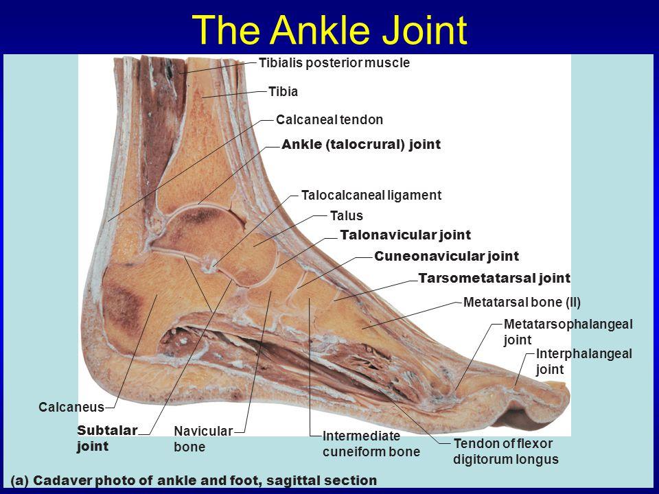 The Ankle Joint Tibia Calcaneal tendon Calcaneus Navicular bone Subtalar joint (a) Cadaver photo of ankle and foot, sagittal section Intermediate cuneiform bone Tendon of flexor digitorum longus Metatarsal bone (II) Interphalangeal joint Metatarsophalangeal joint Cuneonavicular joint Talonavicular joint Talocalcaneal ligament Tibialis posterior muscle Ankle (talocrural) joint Tarsometatarsal joint Talus