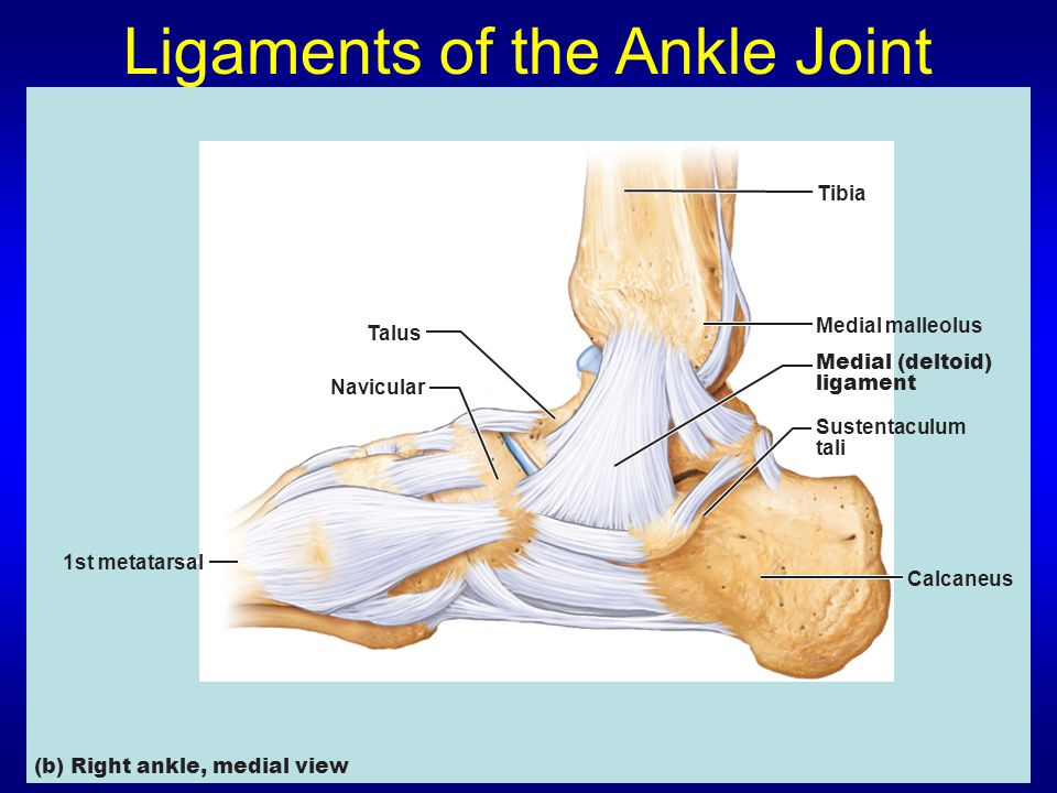 Ligaments of the Ankle Joint Medial malleolus Calcaneus Sustentaculum tali Medial (deltoid) ligament Talus Navicular Tibia 1st metatarsal (b) Right ankle, medial view