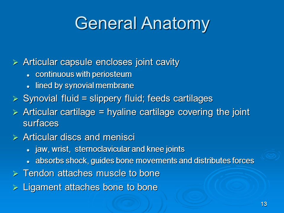 13 General Anatomy  Articular capsule encloses joint cavity continuous with periosteum continuous with periosteum lined by synovial membrane lined by