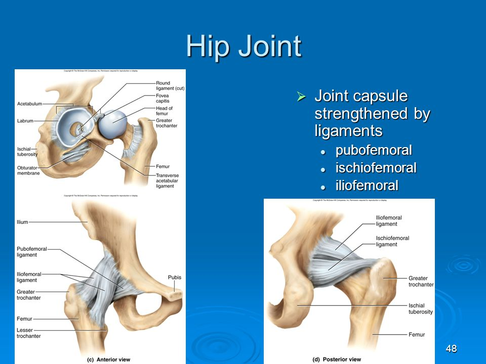 48 Hip Joint  Joint capsule strengthened by ligaments pubofemoral pubofemoral ischiofemoral ischiofemoral iliofemoral iliofemoral
