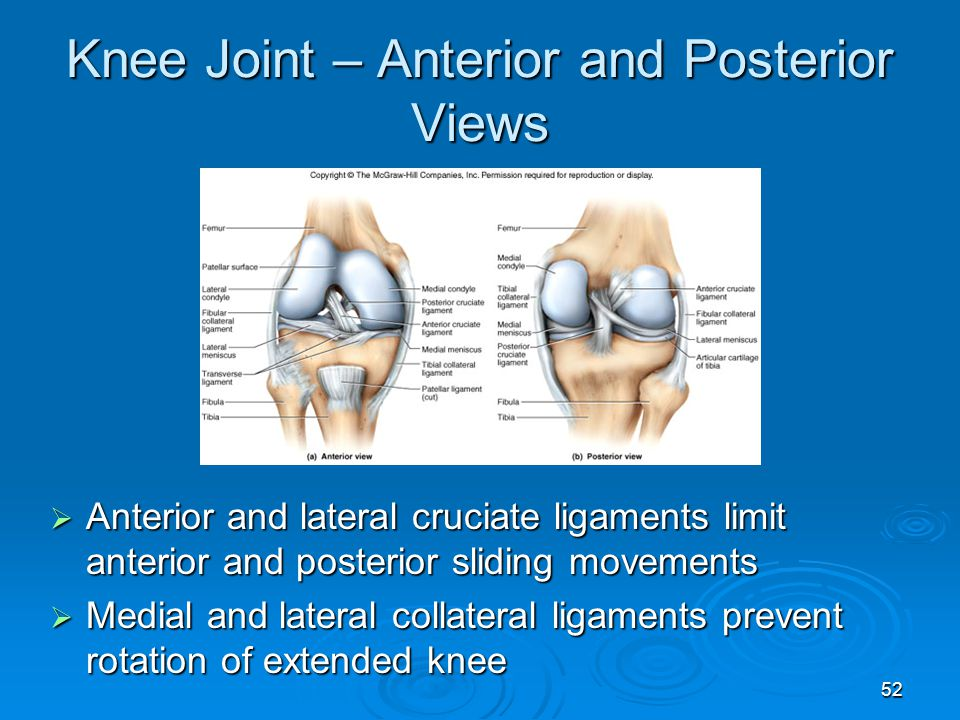 52 Knee Joint – Anterior and Posterior Views  Anterior and lateral cruciate ligaments limit anterior and posterior sliding movements  Medial and lat