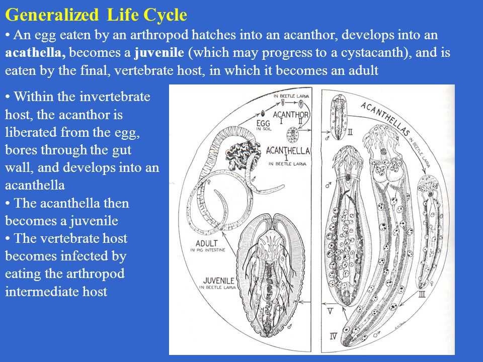 Generalized Life Cycle An egg eaten by an arthropod hatches into an acanthor, develops into an acathella, becomes a juvenile (which may progress to a